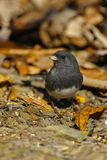 Junco 1 Stock Images