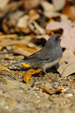 Junco 2 Stock Photos