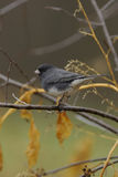Junco 2a Stock Images