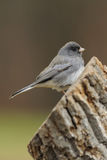 Junco 2b Royalty Free Stock Image