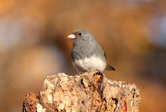 Junco Royalty Free Stock Photo