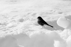 junco Royaltyfri Foto