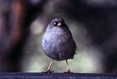 Junco. Volcano Junco Portrait stock photos