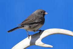 Junco on an Antler Stock Photography