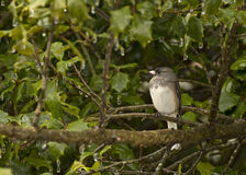Junco Bird Sitting on Tree Branch Facing Left Stock Photo