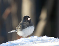 Junco bird in the snow. A Dark-Eyed Junco bird male in the snow Royalty Free Stock Photo