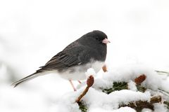 Junco On A Branch Stock Photography