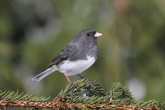 Junco On A Branch Royalty Free Stock Photo