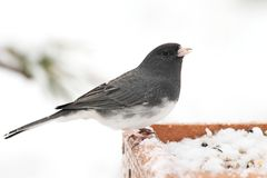 Junco On A Branch Royalty Free Stock Photography