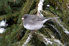 Junco On A Branch Royalty Free Stock Image