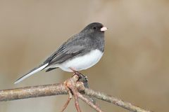 Junco On A Branch Royalty Free Stock Images