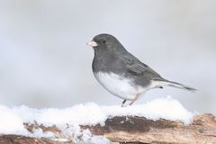 Junco On A Branch With Snow Royalty Free Stock Photo