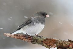 Junco On A Branch in a Snow Storm Stock Image