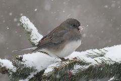 Junco On A Branch in a Snow Storm Royalty Free Stock Photos