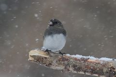 Junco On A Branch in a Snow Storm Stock Photo