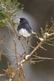 Junco colorato ardesia nordica (hyemalis del Junco) Immagine Stock