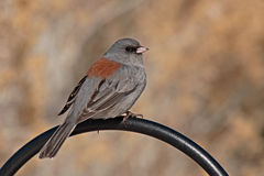 Junco On Curving Perch Stock Photos