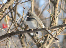 Junco Dark-eyed Fotografia Stock