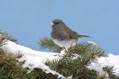 Junco Dark-eyed en nieve Fotografía de archivo libre de regalías