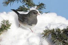 Junco Dark-eyed en nieve foto de archivo