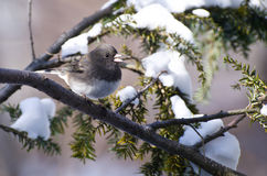 Junco Dark-eyed encaramado en nieve Imagenes de archivo