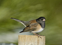 Junco Dark-eyed (hyemalis de Junco) Images stock