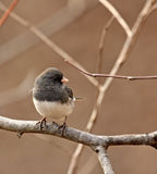 Junco Dark-eyed, hyemalis del Junco Fotos de archivo
