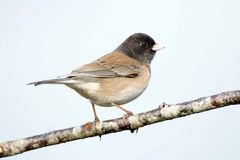 Junco de Oregon Imagem de Stock Royalty Free