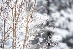 Junco di inverno Fotografia Stock