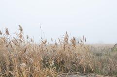 Junco do yelow do outono, dia nevoento imagens de stock