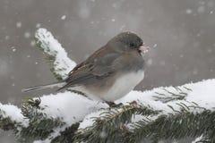 Junco en una rama en una tormenta de la nieve Fotos de archivo libres de regalías