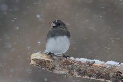 Junco en una rama en una tormenta de la nieve Foto de archivo