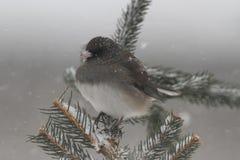 Junco en una rama en una tormenta de la nieve Imagen de archivo