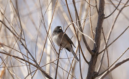 Junco eyed obscuridade Imagens de Stock Royalty Free