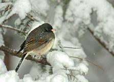 Junco Eyed oscuro en tormenta de la nieve Imagen de archivo