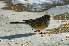 Junco Feeding. One Dark-eyed Junco in search of food Stock Images