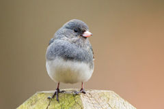 Junco Fencepost Royalty Free Stock Photos