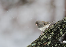 Junco Foncé-Eyed Photo libre de droits