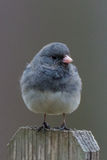 Junco Royalty Free Stock Photos