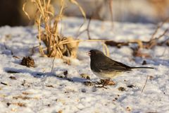 Junco hyemalis. A male dark-eyed junco collecting seeds off the snow covered ground Royalty Free Stock Photo