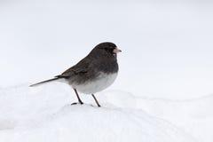 Junco im Schnee Stockfotos