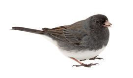 Junco, Junco hyemalis, Isolated Stock Image