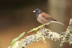 Junco On Knob Of Perch. A Dark-eyed Junco resting on the knob of a perch in central California Royalty Free Stock Image