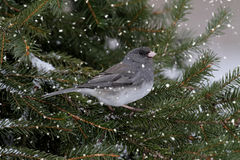Junco In A Light Snowfall Royalty Free Stock Photography