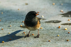 Junco Looking Final. One Dark-eyed Junco in search of birdseed Stock Photography