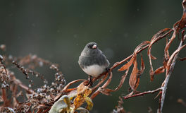 Junco Stock Photo