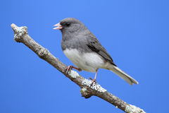 Junco on a Perch Stock Image