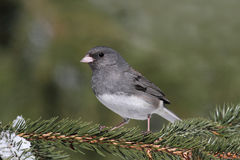 Junco On A Perch Stock Photo