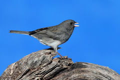 Junco on a Perch Stock Images