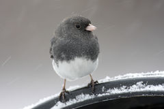 Junco On A Perch Royalty Free Stock Images